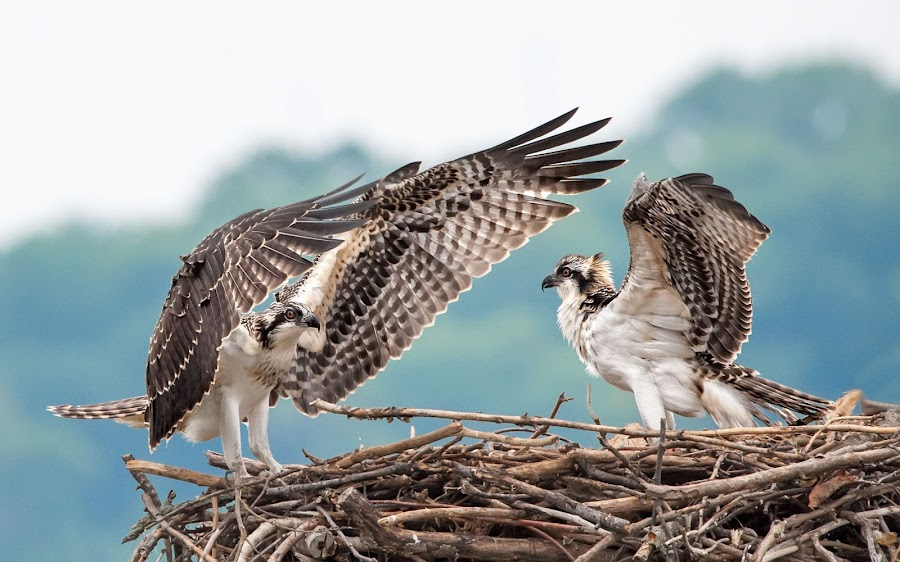 Fledglings Face Off!! by Dawn Riddle - Animals Birds