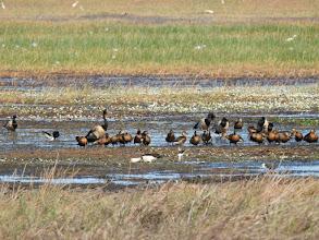 Photo: Day 2 - Radjah Shelducks, Magpie Geese, Wandering Whistling-ducks, Black-winged Stilt and Egrets at Mamukala