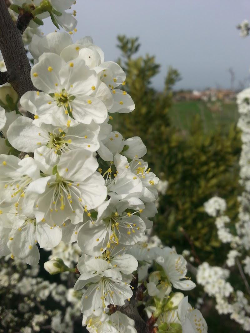 fiore di susino di tiz