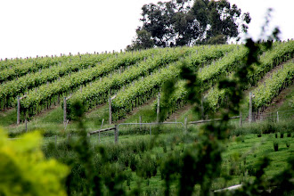 Photo: Year 2 Day 140 - Vines at Helens Hill Vineyard