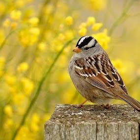 White-crowned Sparrow by Andrew Johnson - Animals Birds ( bird, nature, wildlife, animal, sparrow,  )