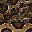 Russels viper