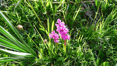 Photo: Orchis