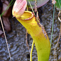 Common Swamp Pitcher-plant