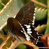 Malabar Banded Swallowtail