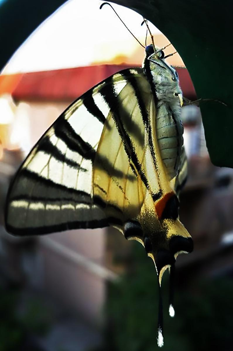 Farfalla di cesare carusio