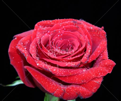 Single Flower | Flowers | Pixoto