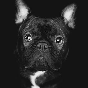 Snoopy by Dragos Birtoiu - Animals - Dogs Portraits ( frenchie, dogs, dog portrait, french bulldog, dog, frenchie black and white,  )