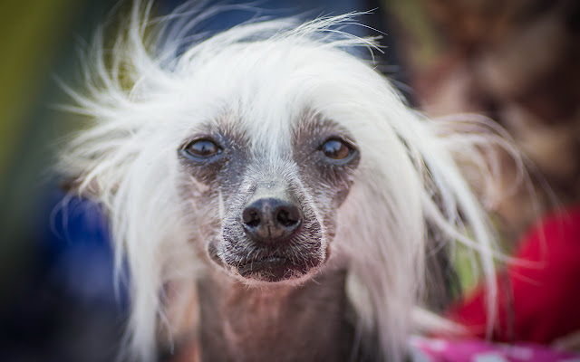 Chinese Crested Themes & New Tab