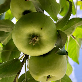 Apple tree by Anny Patterson - Nature Up Close Trees & Bushes ( #apple tree #green #sky #blue #leaves )