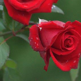Red Rose by Larry Bidwell - Flowers Single Flower