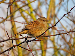 Photo: Priorslee Lake A fine study of a Dunnock / Hedge Sparrow / Hedge Accentor – take your pick of the name. (Ed Wilson)