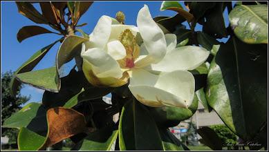 Photo: Magnolia grandiflora - din Piata 1 Decembrie 1918, spatiu verde - 2017.06.11