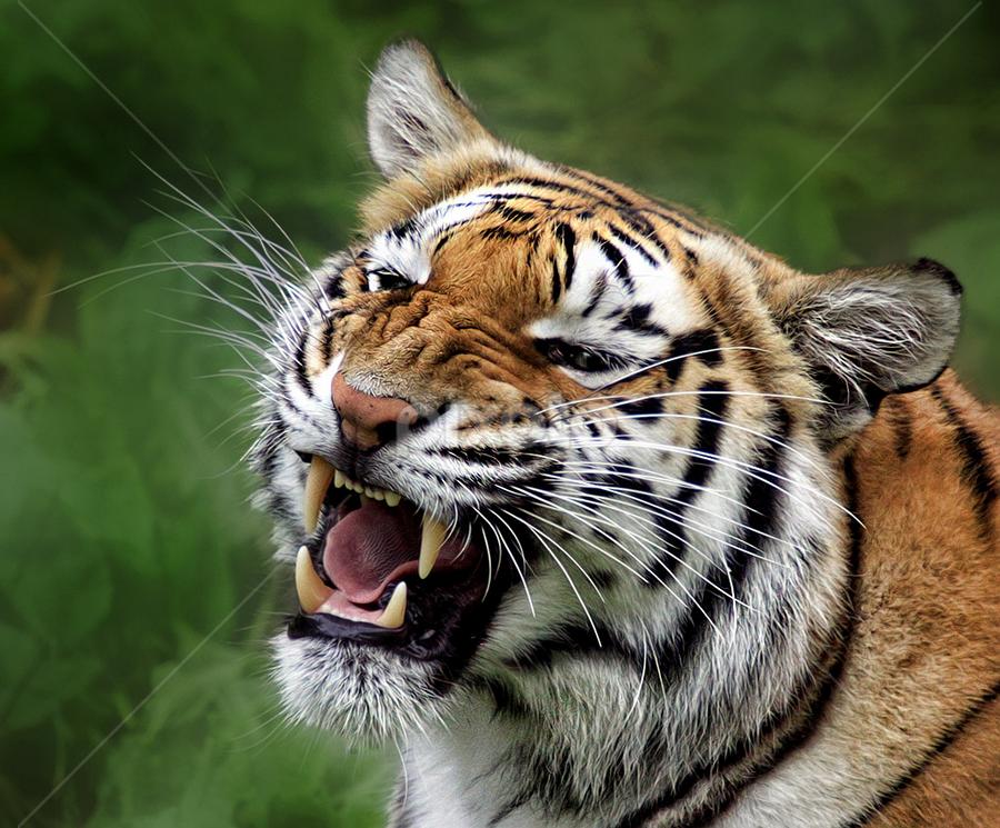 by John Larson - Animals Other Mammals ( tiger )