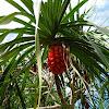 Pandanus palm / Screw Pine / Screw Palm