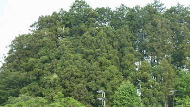 Photo: 撮影者:粕谷和夫 アオサギ タイトル:アオサギのコロニー 観察年月日:2014年5月28日 巣数:12巣以上 場所:陣場街道切り通しバス停(日枝神社) 区分:繁殖5① メッシュ:拝島21B コメント:日枝神社の小さな杉の森にアオサギが集団営巣。12巣以上はあり、親かまたは巣立ち直前の雛が巣中にいた。12巣は確認できたが、隠れて見えない部分もあり、12巣以上ありそうである。巣立ち直前と見られる雛が3羽いる巣もあった。