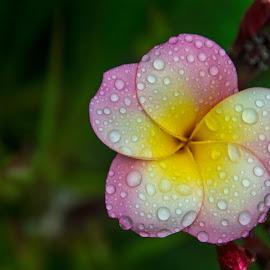Frangipani Flower by Mark Luyt - Flowers Tree Blossoms ( spring, drops, blossom, bloom, flower )