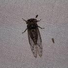 Little mesquite cicada