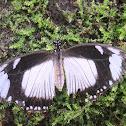 Flying Handkerchief (female)