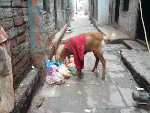 Photo: There are a lot of well dressed goats in Varanasi.  Their table manners still need a bit of work though.
