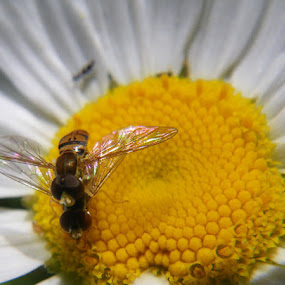 Even Bees Do IT by Val Ewing - Nature Up Close Flowers - 2011-2013 ( bees, bugs, wildflower, white, daisy, yellow )