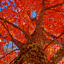 by Barbara Brock - Nature Up Close Trees & Bushes ( fall leaves, seasonal changes, red leaves, fall trees, autumn trees )
