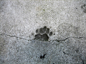 Photo: A concrete impression of a polydactyl cat paw