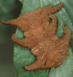 hag moth, Phobetron pithecium  (Lepidoptera: Limacodidae)