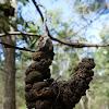 Acacia Gall Rust Fungus