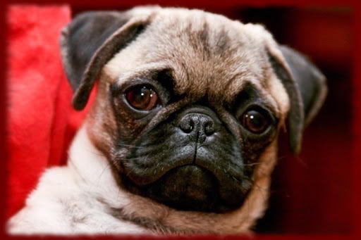 Baby Pug Puppy wallpapers