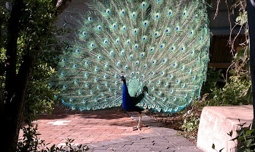 Photo: Peacock in full plumage.  Details come later but I wanted this for my cover photo.