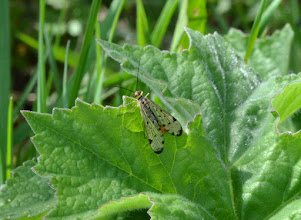 Photo: Scorpion fly (Panorpa  sp.) - Manor Vale 10 May 2015 © David Lewis 2015