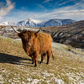 Highland Cattle by Andrew Holland - Animals Other