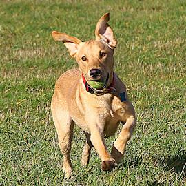 Happy Boy by Chrissie Barrow - Animals - Dogs Running ( running, labrador, ball, portrait, dog, pet )