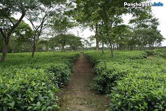 Photo: Tea garden in Panchagarh