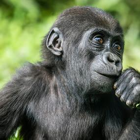 Baby Silverback by Lawayne Kimbro - Animals Other ( wild, zoo, silverback, gorilla, baby, primate, portrait, animal,  )