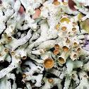 Forked tube lichen