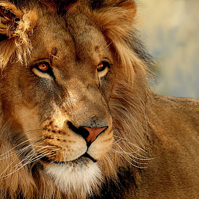 Daydreaming by Shawn Thomas - Animals Lions, Tigers & Big Cats ( pride, predator, lion, cat, carnivore, mane, wildlife, king, large,  )