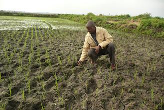 Photo: Moses Kareithi with his two-week-old SRI crop, Mwea Irrigation Scheme, 2009. [Photo Courtesy of Bancy Mati]