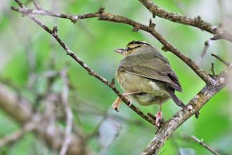 Photo: Worm-eating Warbler