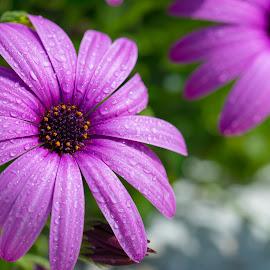 by Grigoris Koulouriotis - Flowers Flower Gardens ( purple, plants, spring, garden, flower,  )