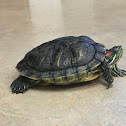 Red ear slider turtle
