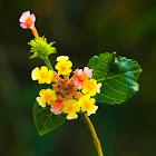 Wild-sage flower