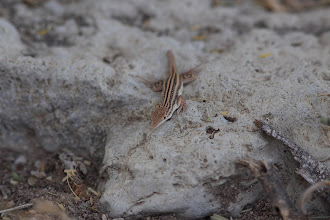 Photo: Pseuderemias smithii - Smith's Sand Lizard