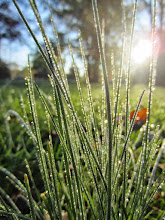 Photo: Dew on blades of grass at Eastwood Park in Dayton, Ohio.
