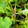 Ground skimmer female