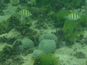Photo: Acanthurus triostegus (Convict Tang), Siquijor Island, Philippines