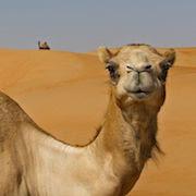 К чему снится верблюд?