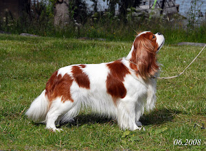 "Photo: Cavalier King Charles Spaniel ""Cash"" in Sweden"