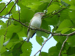 Photo: Red-eyed Vireo is a prolific singer and holds the record for most songs in a day of about 20,000 http://www.allaboutbirds.org/guide/red-eyed_vireo/id